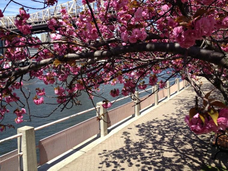 cherry-blossoms-ri