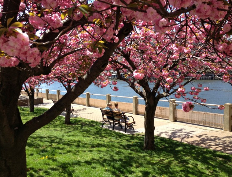 cherry-blossoms-roosevelt-island