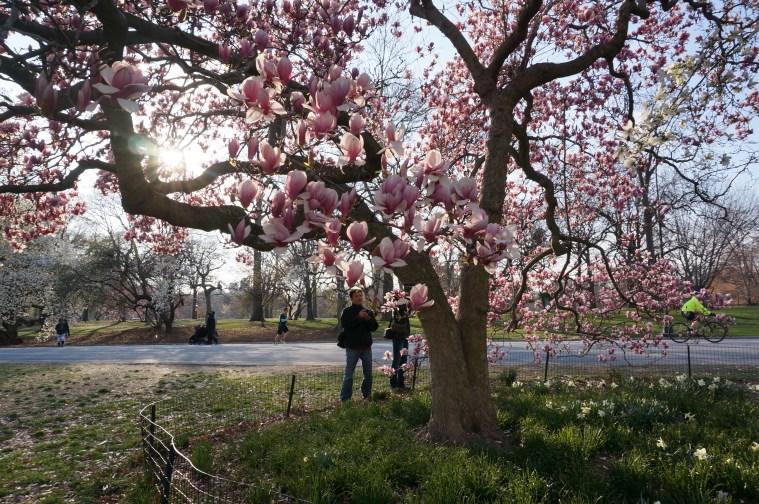 central-park-magnolias-nyc
