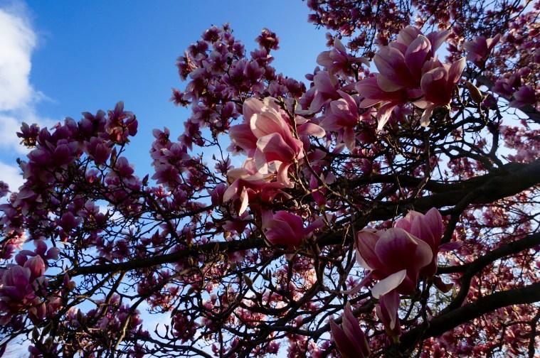 magnolias-blossoms