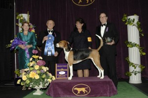 2013 hound winner1 300x199 2013 Westminster Dog Show