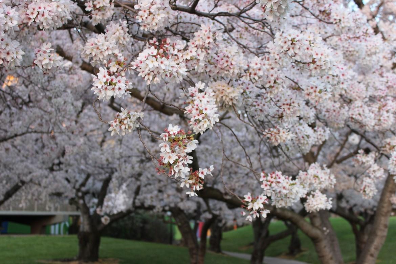 花都开好了,快来坎特伯雷大学赏樱花吧!