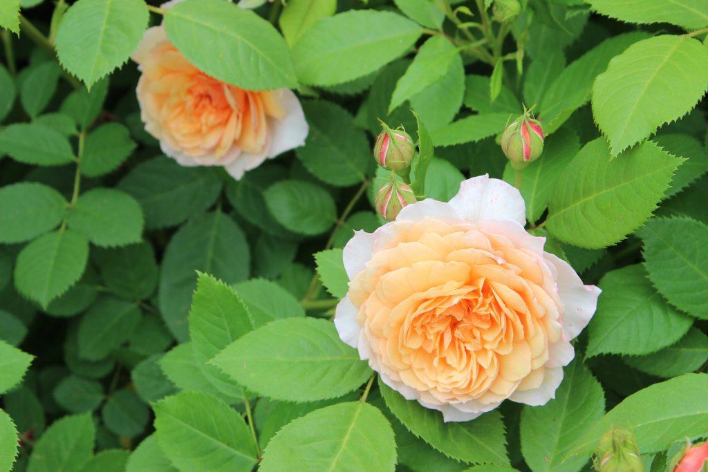 海格力公园的玫瑰之约:基督城夏日必去景点之一