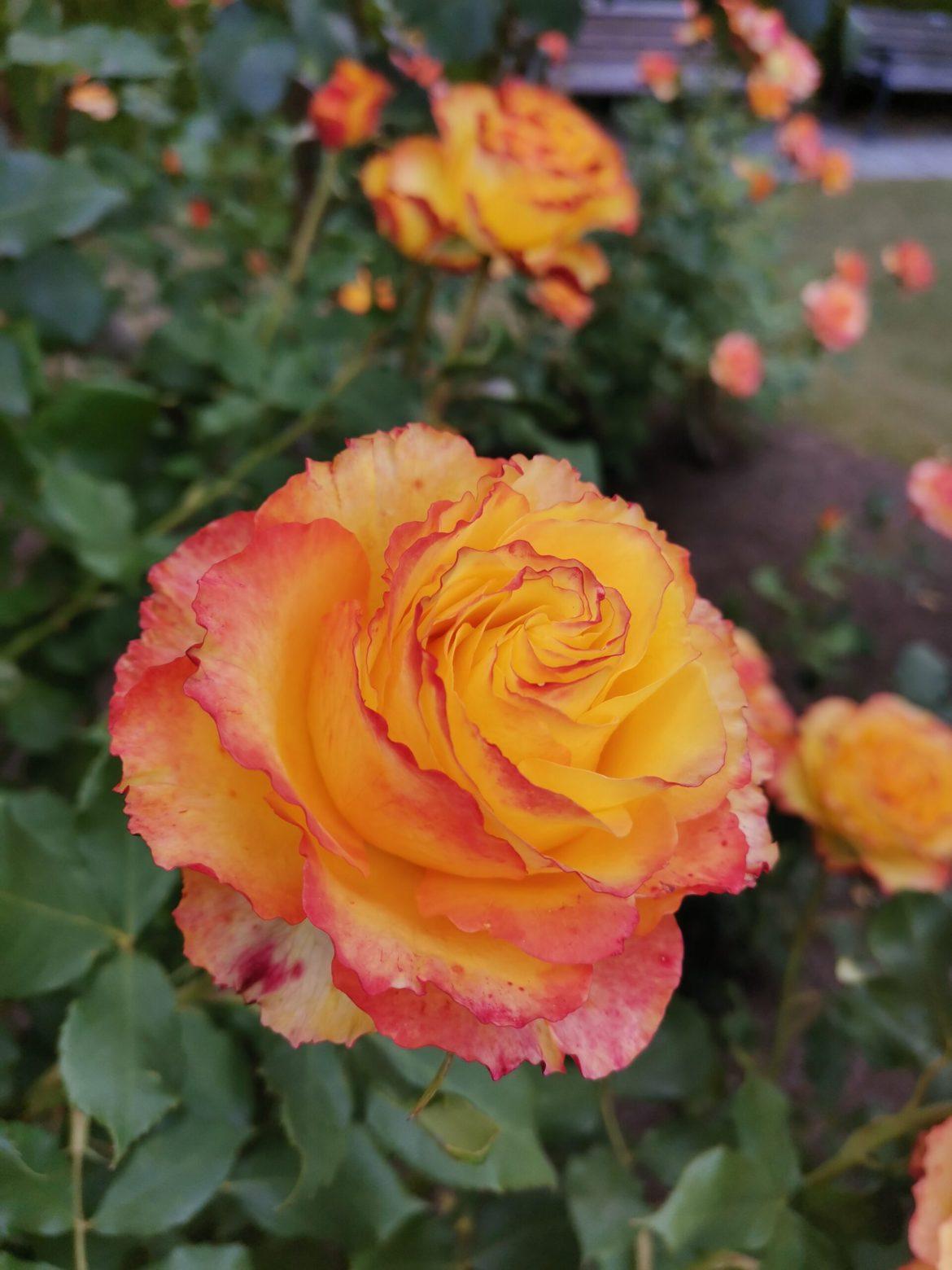 上帝的玫瑰园,带大家云赏花(2020.11.14)