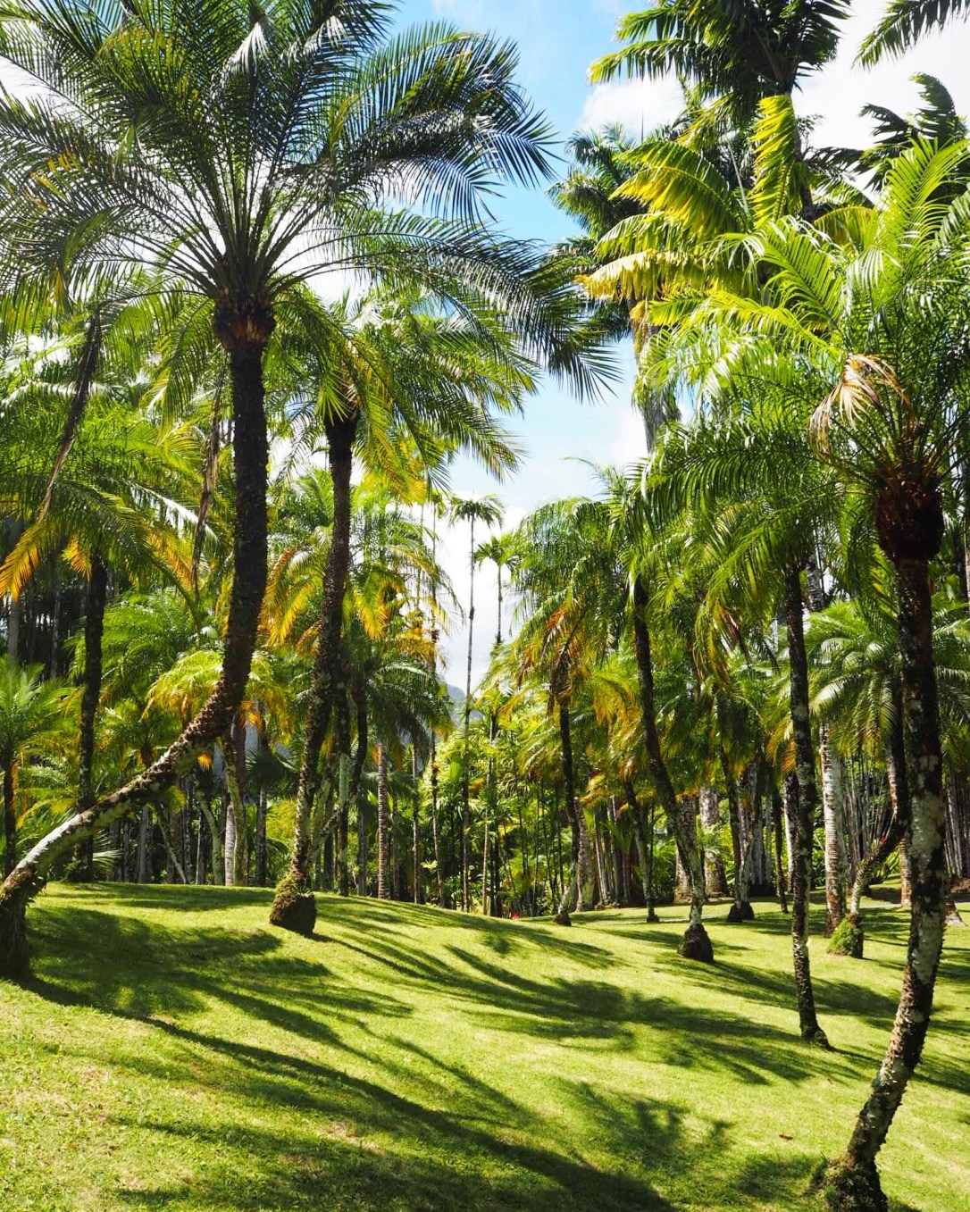 Palm tree shadows on the grass in Martinique's botanical garden