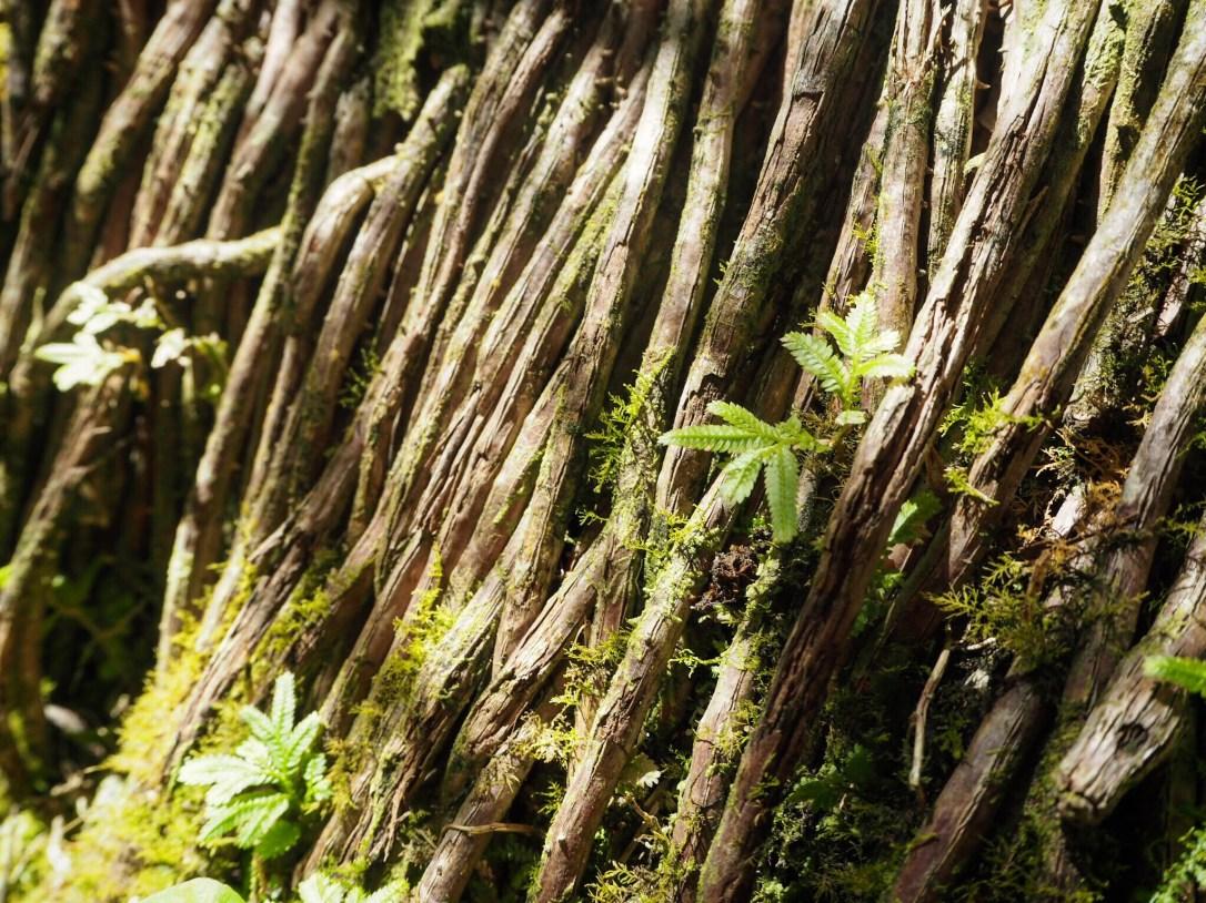 Roots of a jungle tree in Le Jardin de Balata