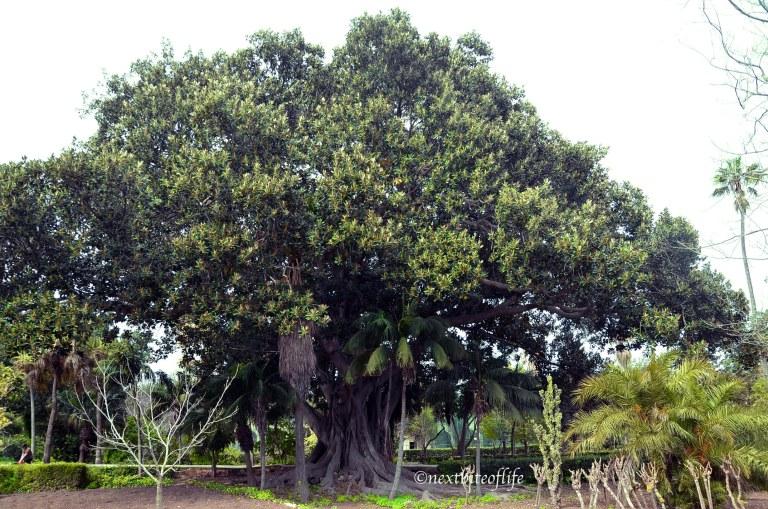 giant older than 300 year old tree at San Anton ardens Malta