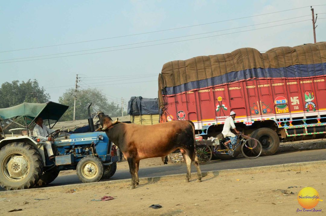 cow on side street, lorry passing by
