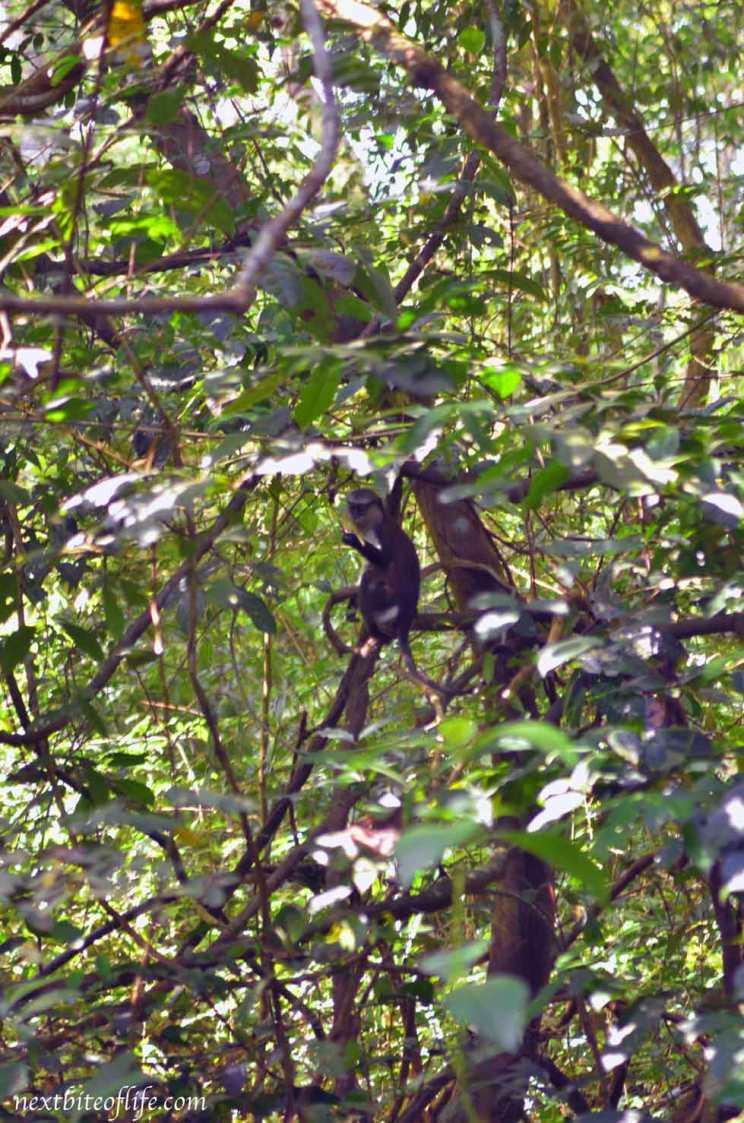 osun osogbo sacred grove monkey in tree