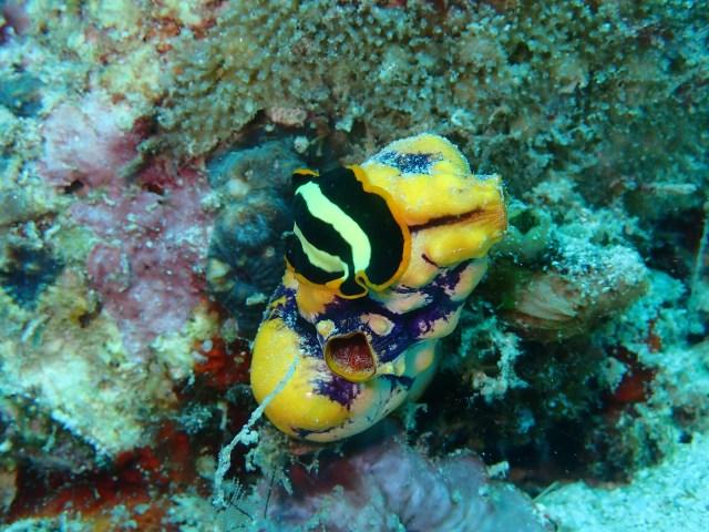 Mabul et plongées le paradis des nudibranches