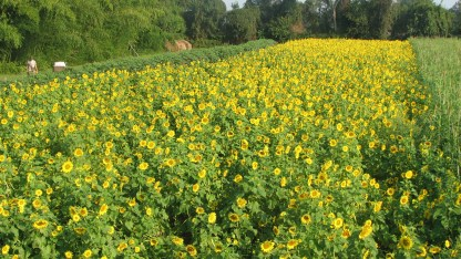 cover crop of sunflowers for pollinators and the soil
