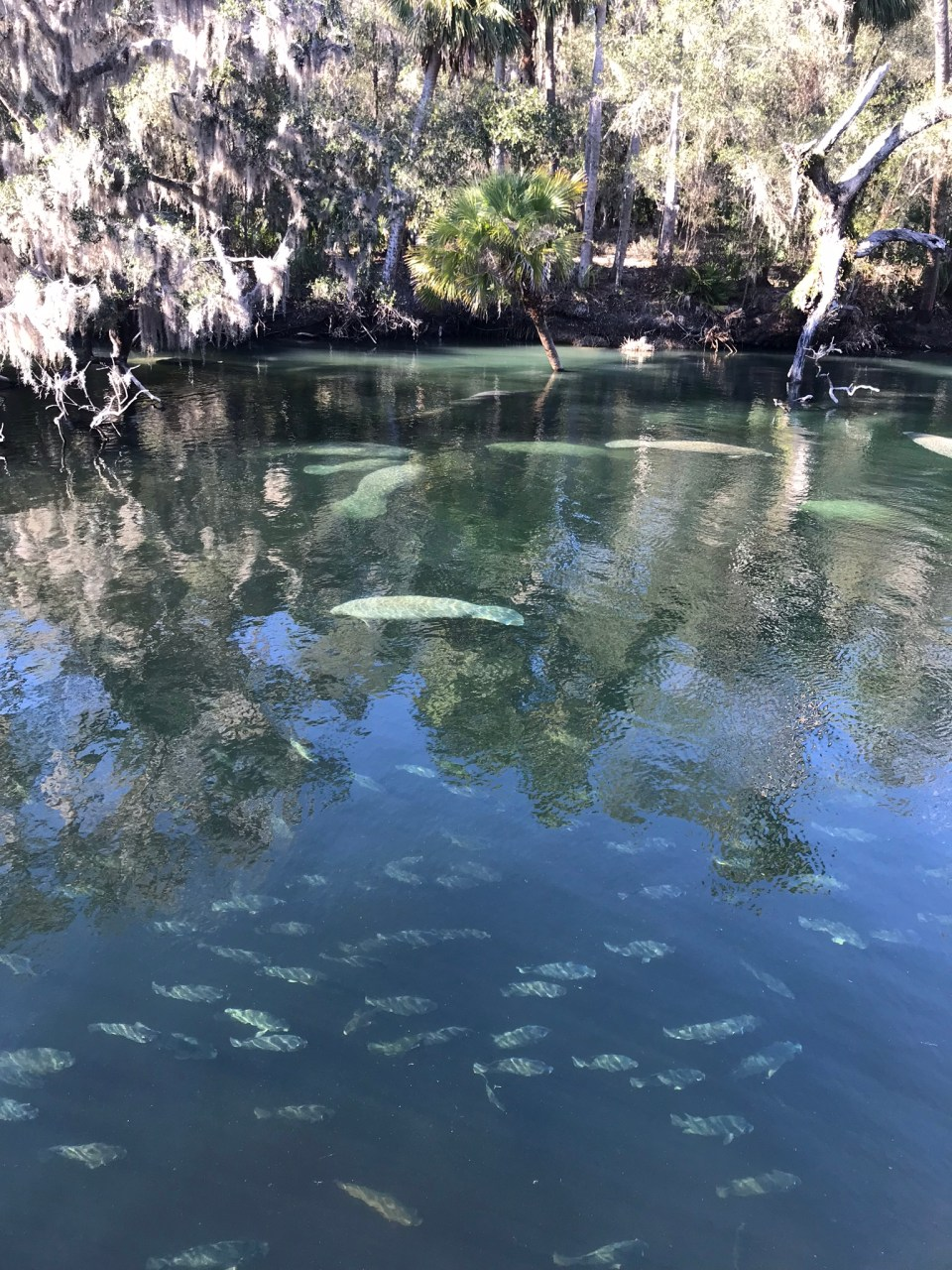 manatee viewing in Blue Spring State Park