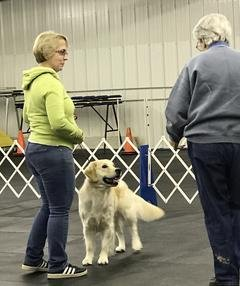 Owner with Golden Retriever learning about conformation