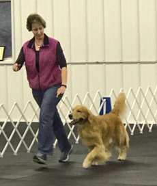Image shows handler with Golden Retriever gaiting at CCA