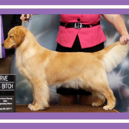 Happy Dog image of female Golden Retriever stacked for a photo at the dog show