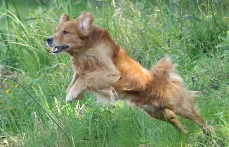 Happy Dog image of leaping Golden Retriever