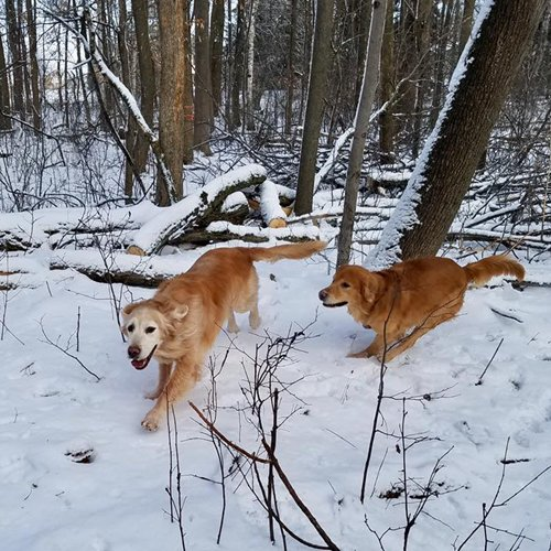 Happy Dog image of 2 Golden Retrievers running in the snow thru the woods