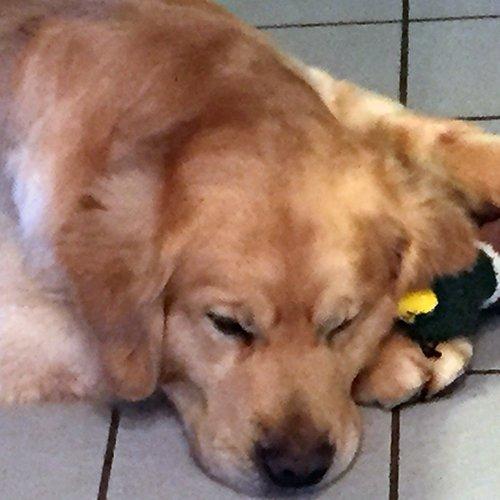 Happy Dog image of Golden Retriever sleeping with him stuffed duck