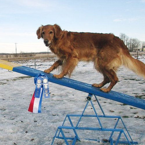 Happy Dog image of Golden Retriever on see-saw with winning ribbons