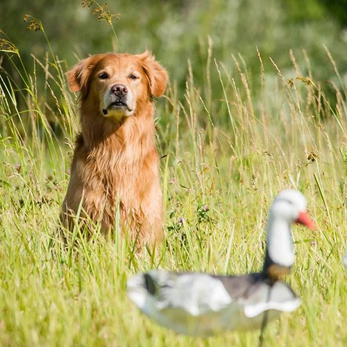 Happy Dog image of Golden Retriever in a field