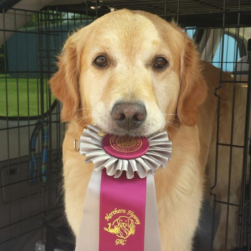 Happy Dog Golden Retriever holding winning ribbon in mouth