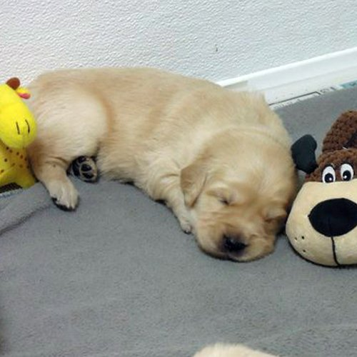 Happy Dog image of baby Golden Retriever sleeping with stuff animals