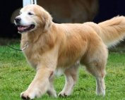 Judging the Golden Retriever Slide 4
