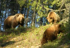 Momma grizzly and cubs from Pat Cole2