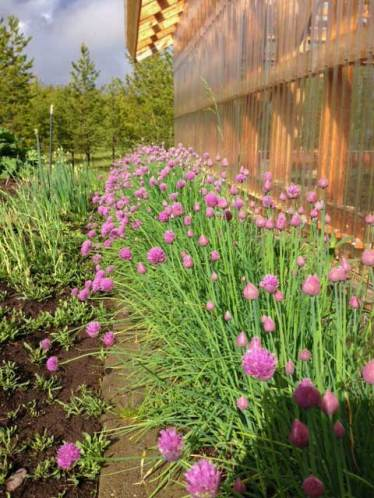 Chives near my greenhouse