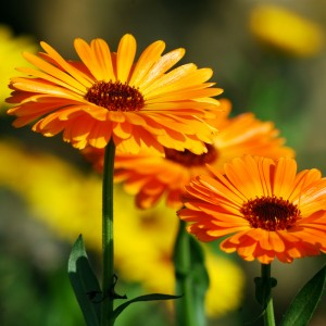 Calendula Bath Bomb: What is Calendula