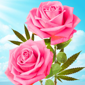 Cannabis Rose Fragrance