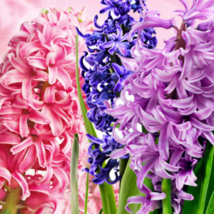 Hyacinth Fragrance Oil