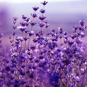 Lavender Flowers Fragrance Oil
