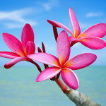 Top Exotic Fragrances- Plumeria Fragrance Oil