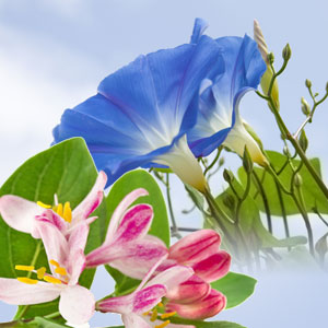 NG Morning Glory and Honeysuckle Type Fragrance Oil