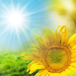 Sunflower Type Fragrance Oil