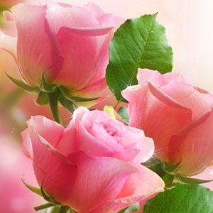 Fragrance Oils for Valentines Day: Victorian Rose Fragrance Oil