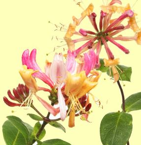 Best Floral Fragrance Oils Honeysuckle Fragrance Oil