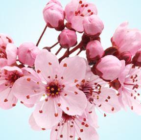 Best Floral Fragrance Oils Japanese Cherry Blossom Fragrance Oil