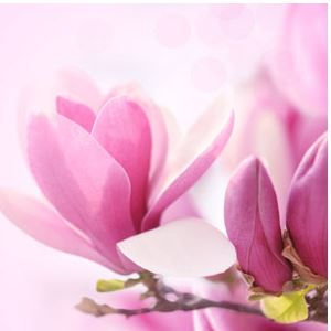 Best Floral Fragrance Oils Magnolia Fragrance Oil