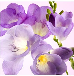 Best Floral Fragrance Oils Freesia Fragrance Oil