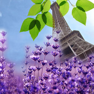 Fragrance Oils for Warmers French Lavender Fragrance Oil