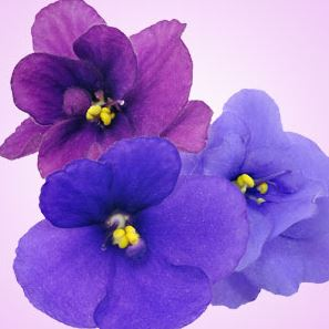 Best Floral Fragrance Oils Violet Fragrance Oil