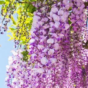 Best Floral Fragrance Oils Wisteria Fragrance Oil