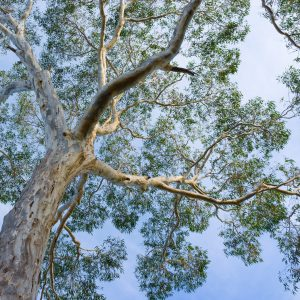 Eucalyptus Benefits: Growing Conditions