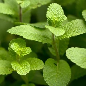 Spearmint Leaf Benefits: Growing Conditions