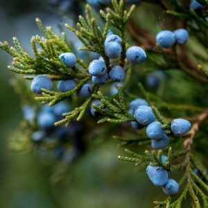 Juniper Berry Benefits: Growing Conditions