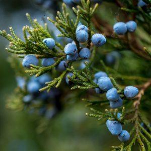 Juniper Berry Benefits: Growing Conditions