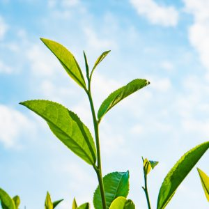 Green Tea Benefits: Growing Conditions