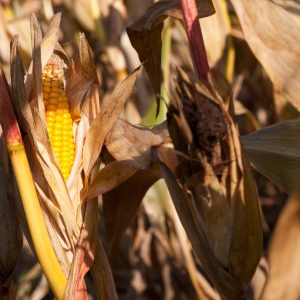 What are the Benefits of Cornsilk?: Why Do Farmers Leave Corn in the Field?